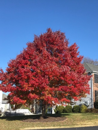 Stunning red foliage